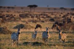 Wildlife-zebras-sunset-kenya-safari-john-greengo